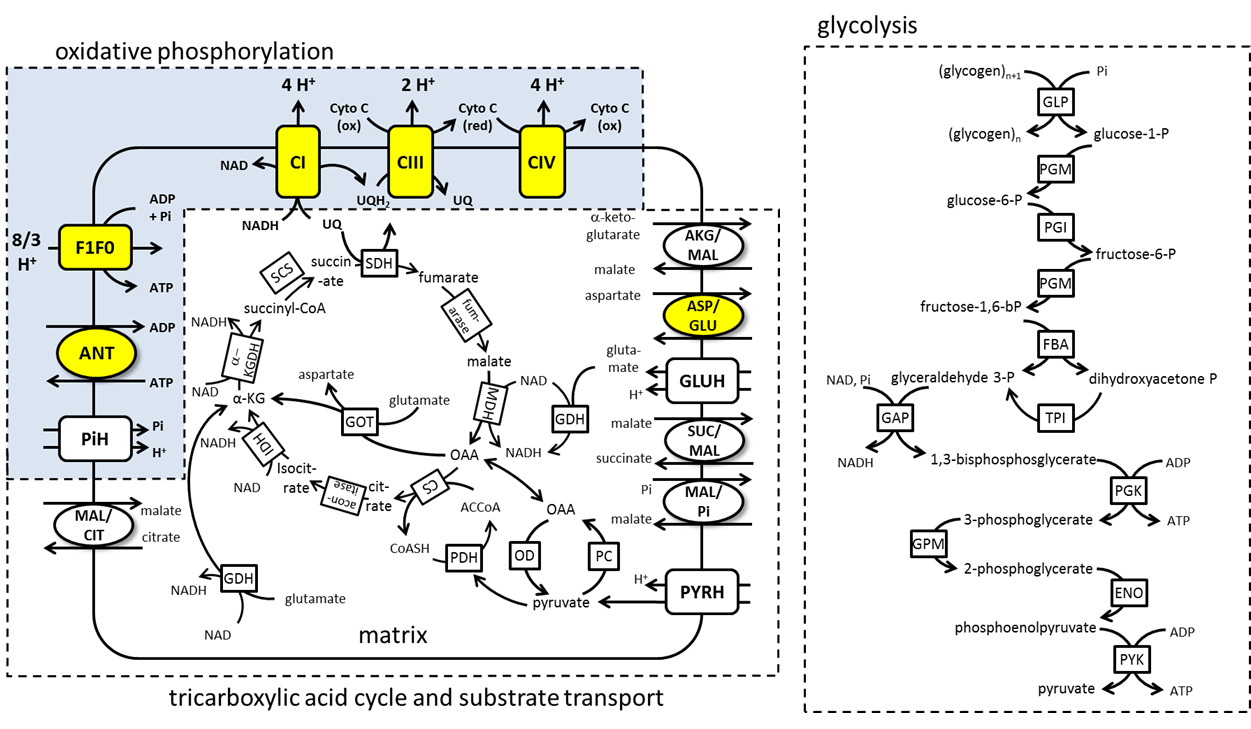 Tricarboxylic Acid Cycle and Glycolysis